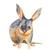 Bilby Print, Watercolour Macrotis, Watercolour Bilby, Bilby Illustration, Rabbit