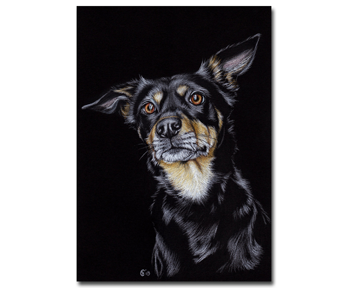 KELPIE Austalian sheep dog chien colored pencils painting Sandrine Curtiss