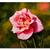 ROSE 8 pink flower watercolor painting Sandrine Curtiss ORIGINAL Art 9x12
