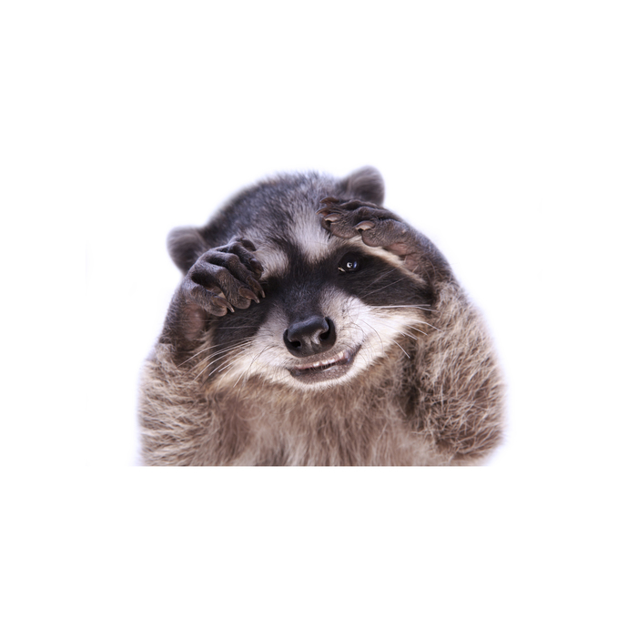 "Oh No! Raccoon Wall Decal - 11"" wide x 9"" tall"