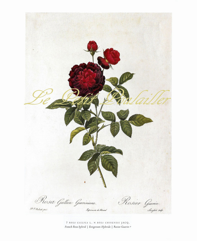 Evergreen Rose and French Rose 1954 Mid Century Pierre Redoute Antique Botanical
