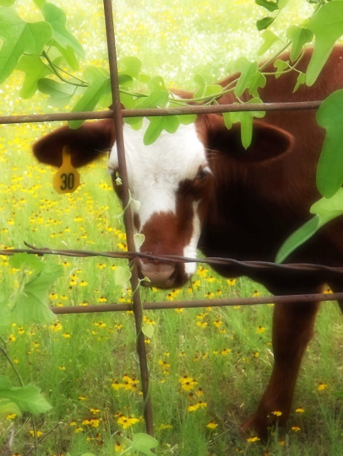 Nature photography, fixer upper, rustic, country decor, cow print, modern