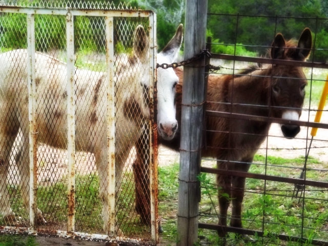 Nature photography, fixer upper, animal art, country decor, donkey print, modern