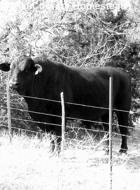 Nature photography, bull wall art, country photography, black bull print, black