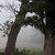 Nature photography, trees, country decor, fog, dreamy, foggy oak trees,