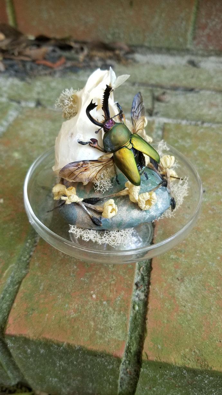 Sawtooth beetle & muskrat skull display case