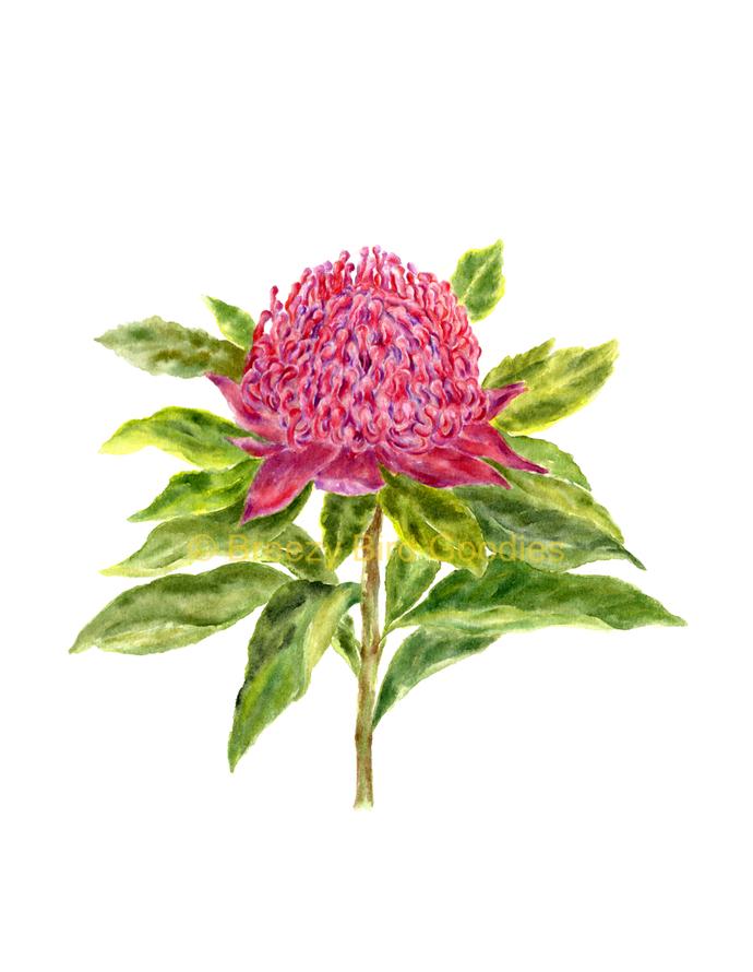 Waratah Print, Australian Gifts, Australian Art, Flower Print, Waratah Flower,