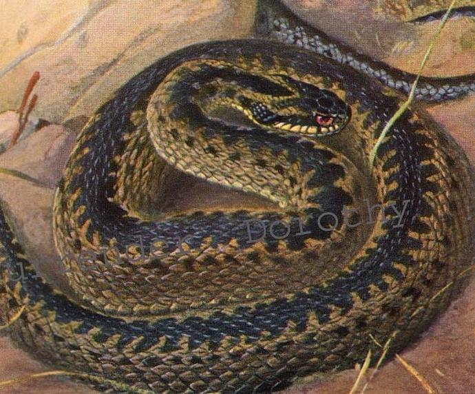 Kreuzotter Deadly Snake Edwardian Era 1911 Natural History Lithograph