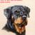 Rottweiler Cross Stitch Pattern***LOOK*** ***INSTANT DOWNLOAD***