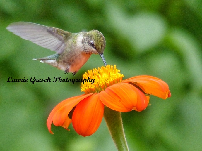 Original Photography 5x7 print Minnesota photography Female Ruby Throated