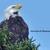 Original Photography 5x7 print Minnesota photography Bald Eagle photography