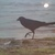 North American Purple Martin 16x20 Glass Print