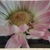 16 x 20 Glass Print Pink and White Daisy