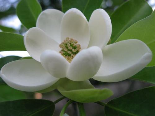 SWEETBAY MAGNOLIA, Laurel Magnolia, Swamp Magnolia qt. pot