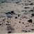 Piping Plover 16x20 Glass Print