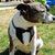 Tuxedo Bandana Dog/Cat, Dog Suit, Wedding Day, Dog Tux, Special Occasion, Formal