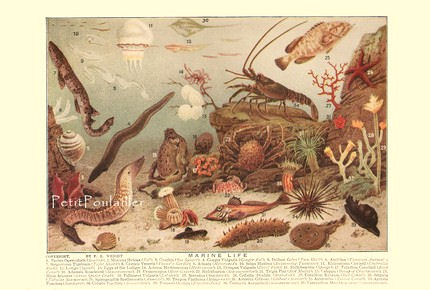 Marine Life 1923 Antique Frederic E Wright Natural History Lithograph