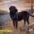 Labrador Retriever Cross Stitch Pattern***L@@K***   ***INSTANT DOWNLOAD***