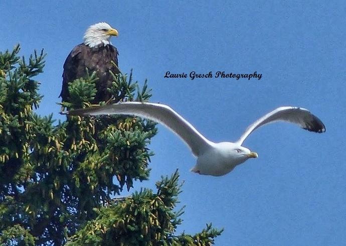Original Photography 5x7 print Minnesota photography Bald Eagle Seagull