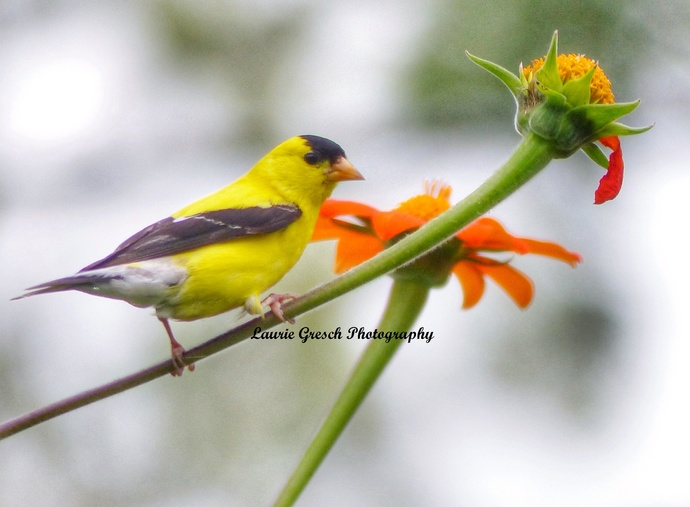 Original Photography 5x7 print Minnesota photography American Goldfinch