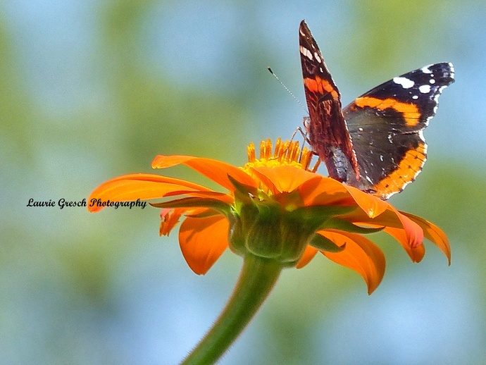 Original Photography 5x7 print Minnesota photography Red Admiral Butterfly