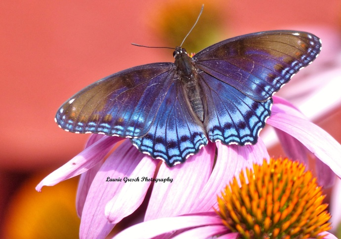 Original Photography 5x7 print Minnesota photography Red Spotted Purple