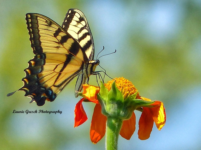 Original Photography 5x7 print Minnesota photography Tiger Swallowtail Butterfly