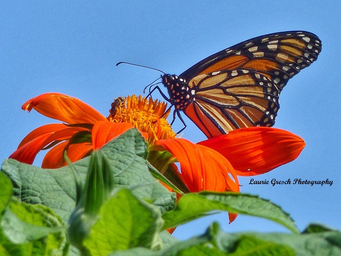Original Photography 5x7 print Minnesota photography Monarch Butterfly