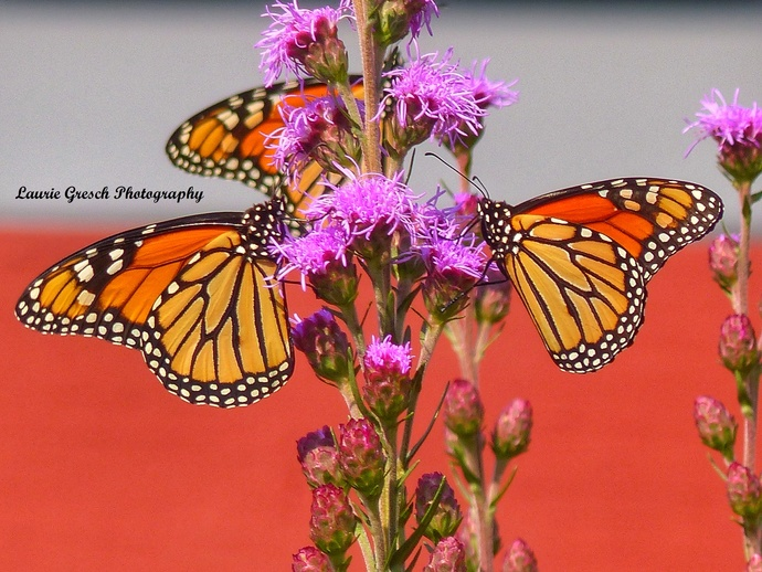Original Photography 5x7 print Minnesota photography Monarch Butterfly