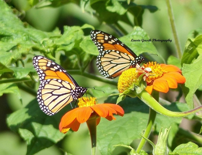 Original Photography, 5x7 print, Minnesota photography, Monarch Butterfly