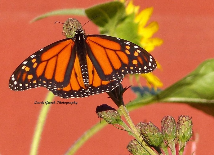 Original Photography, 5x7 print, Minnesota photography, Monarch Butterfly