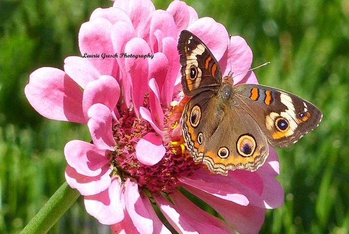 Original Photography, 5x7 print, Minnesota photography, Buckeye Butterfly