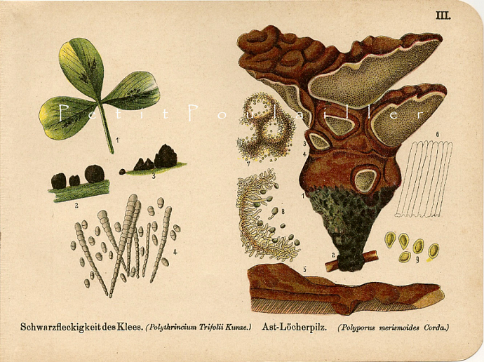 Destructive Fungi 1890 Antique August Schleyer German Engraved Botanical