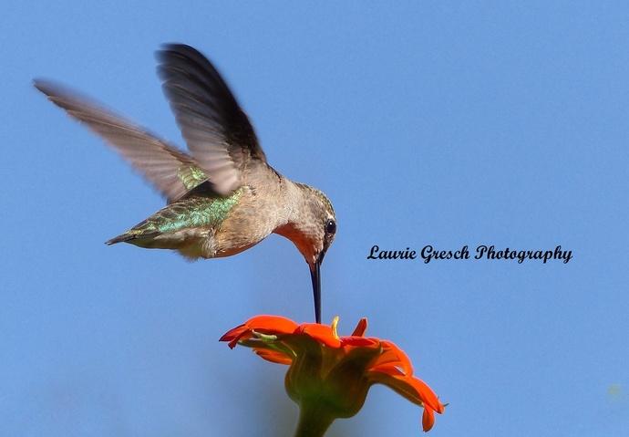 Original Photography, 8x10 print, Minnesota photography, Hummingbird