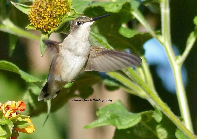 Original Photography, 8x10 print, Minnesota photography, Hummingbird