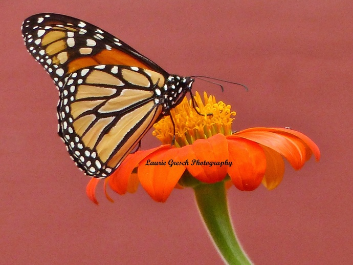 Original Photography, 8x10 print, Minnesota photography, Monarch photography,