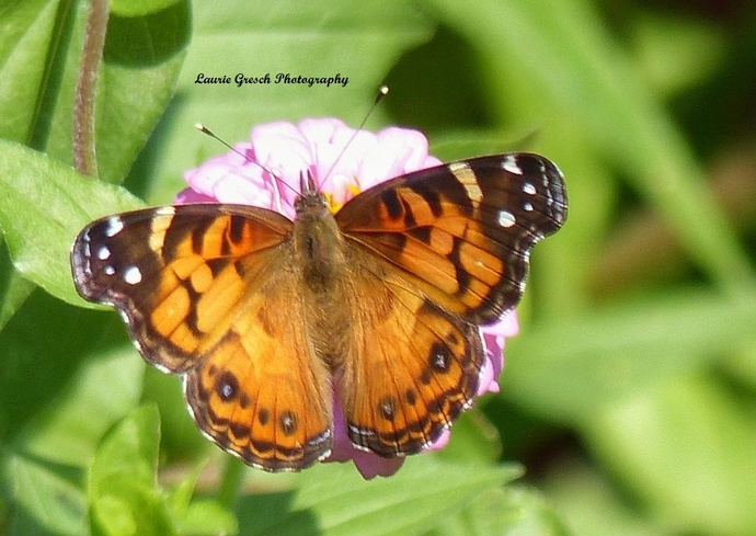 Original Photography, 8x10 print, Minnesota photography, Painted Lady Butterfly