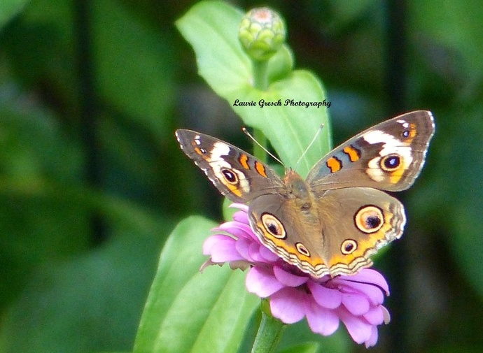 Original Photography, 8x10 print, Minnesota photography, Buckeye Butterfly