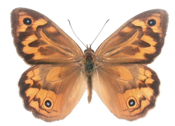"Australian Common Brown Butterfly Decal - 6"" wingspan"