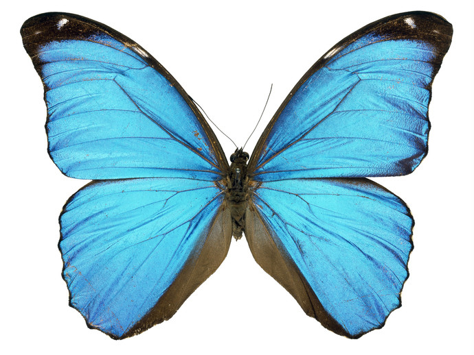 "Blue Morpho Butterfly Decal - 6"" wingspan"
