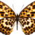"""Brown Spotted Butterfly Decal - 6"""" wingspan"""