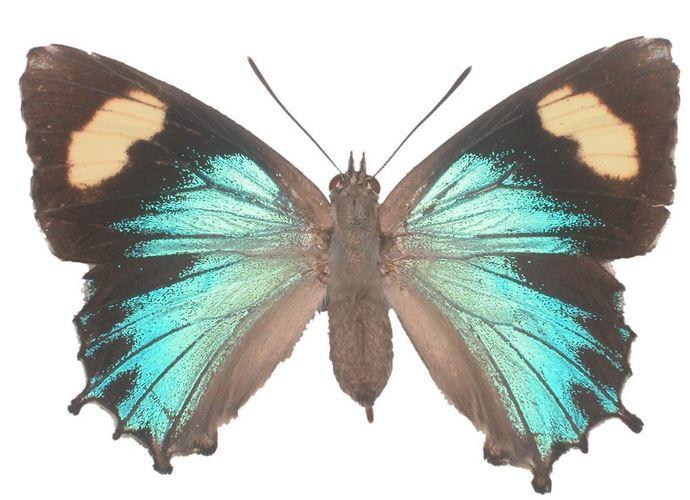 "Genoveva Azaure Butterfly Decal - 6"" wingspan"