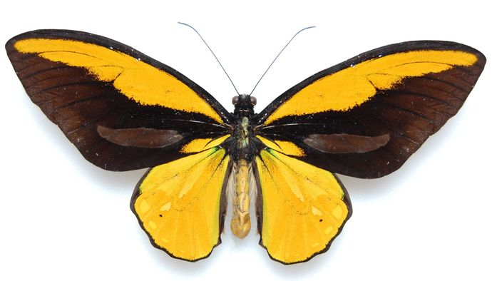 "Golden Birdwing Butterfly Decal - 6"" wingspan"