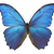 "Menelaus Blue Morpho Butterfly Decal - 6"" wingspan"