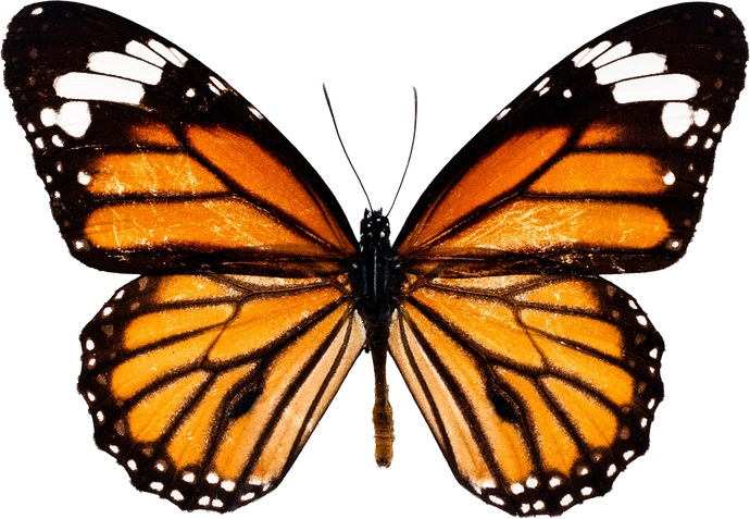 "Monarch Butterfly Decal - 6"" wingspan"