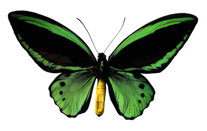 "Ornithoptera Priamus Green Black Yellow Butterfly Decal - 6"" wingspan"