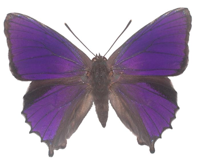 """Purple Azure Butterfly Decal - 6"""" wingspan"""