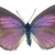 "South Australian Butterfly Decal - 6"" wingspan"