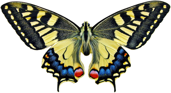 "Swallowtail Butterfly Decal - 6"" wingspan"