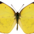 "Yellow Australian Butterfly Decal - 6"" wingspan"